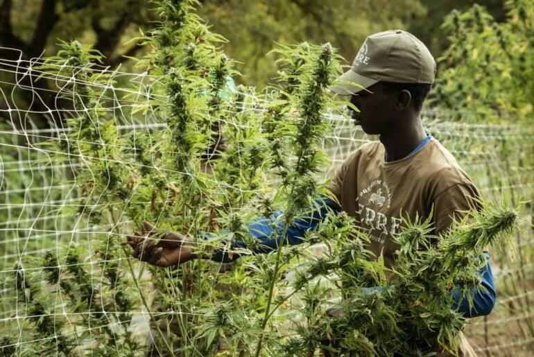 Man harvesting cannabis plants